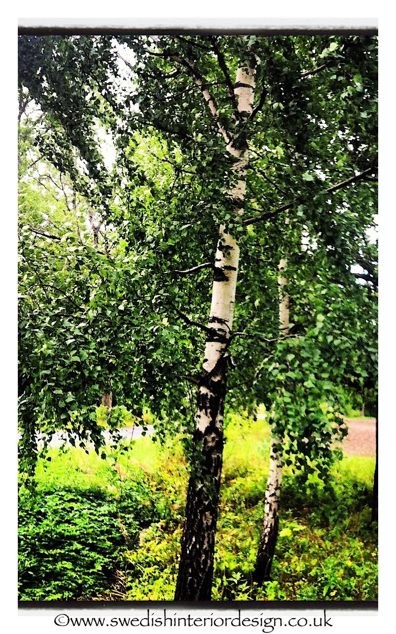 swedish silver birch trees
